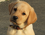 L'école de chiens guides d'aveugles en Ile de France